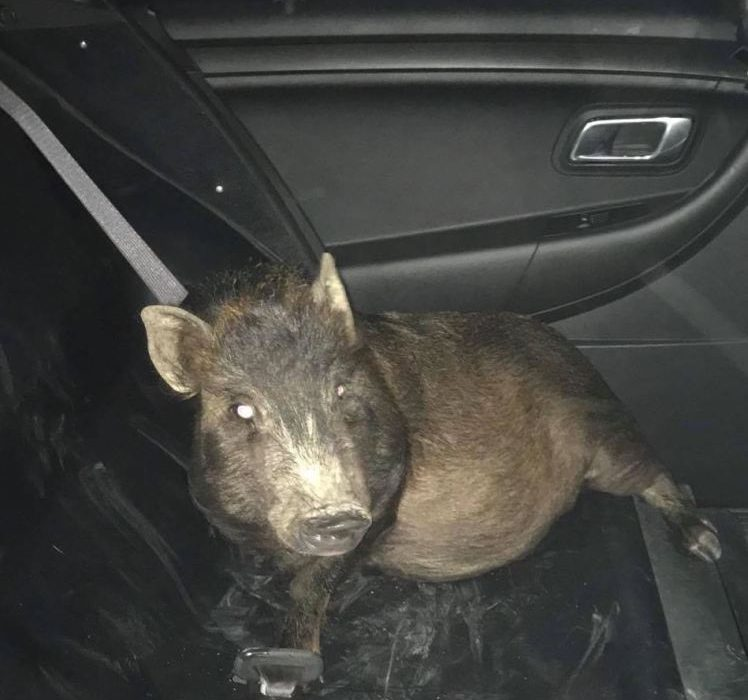 Man calls cops after being stalked by pig