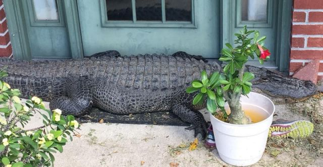 Huge alligator found hanging out on front porch